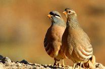 رهاسازی ۲۵قطعه پرنده تیهو در منطقه حفاظت شده در اردستان