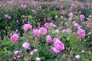 پیش بینی برداشت 3 تن گل محمدی در آران و بیدگل / افزایش 40 هکتاری سطح زیر کشت گل محمدی نسبت به سال گذشته