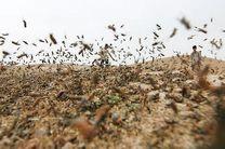 هشدار به کشاورزان هرمزگان برای هجوم ملخ صحرایی