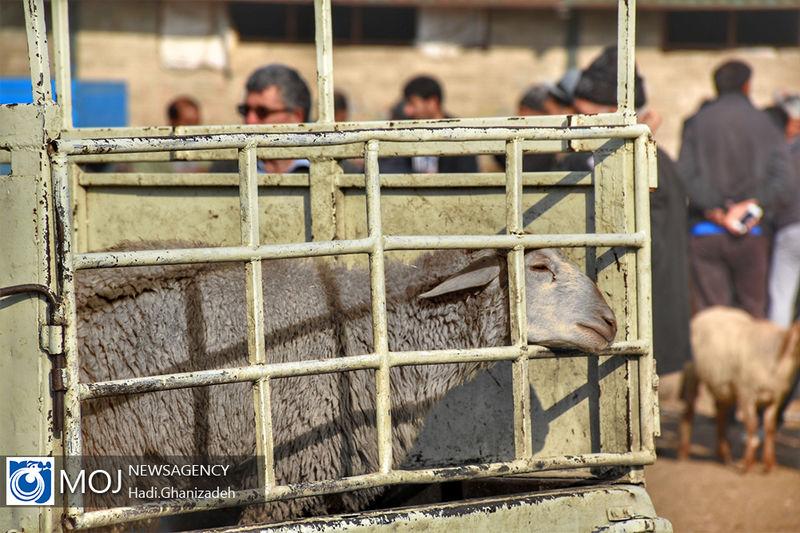 تماس با گوسفند مبتلا  بیماری تب کریمه کنگو می تواند مرگ آفرین باشد!