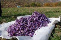 افزایش برداشت گل محمدی و زعفران در اردستان
